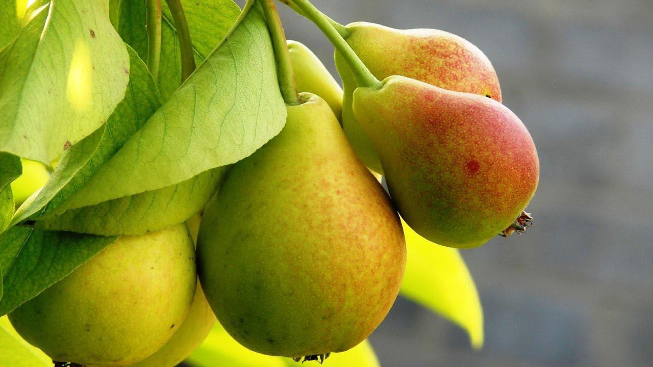 Груша - один из наиболее распространенных плодов