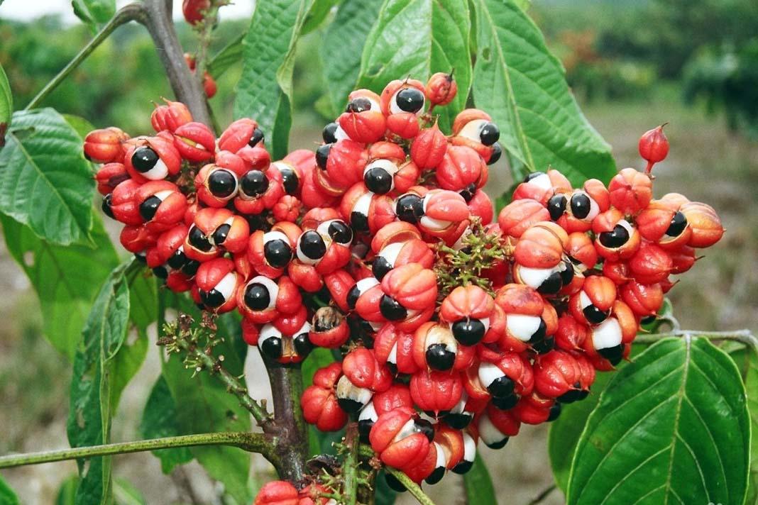 Гуарана: полезные свойства экстракта для здоровья и правила использования